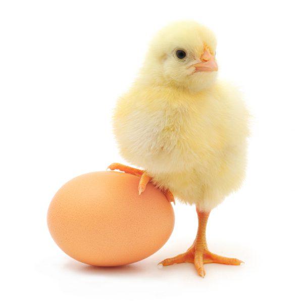 De kosjere hamvraag: Het ei